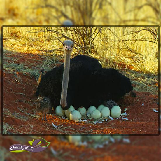 جوجه کشی شتر مرغ بصورت طبیعی