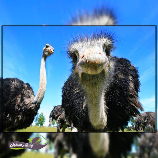 مواردی که باید در محل نگهداری شتر مرغ مورد توجه قرار بگیرد