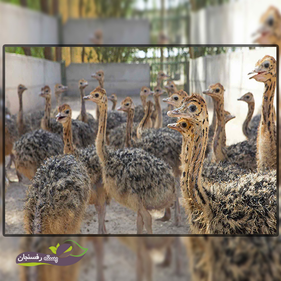 ساخت و سرپرستی یک مزرعه برای پرورش شتر مرغ