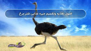 اصول تغذیه وتقسیم جیره غذایی شتر مرغ