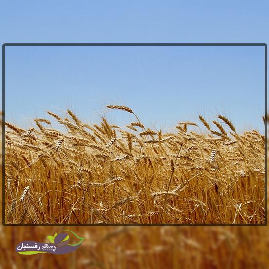میزان تولید گندم کشور
