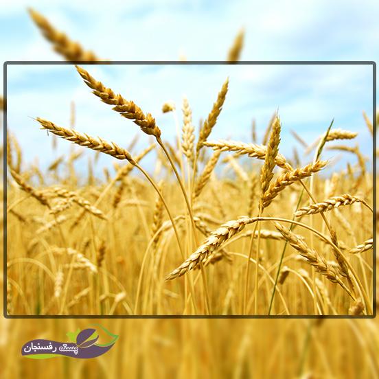 میزان بذر و حاصلخیزی خاک گندم