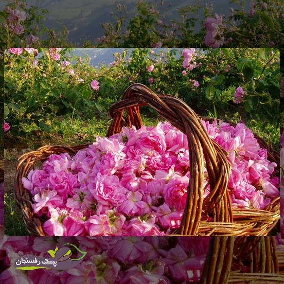 بیش ترین سطح زیر کشت گل محمدی در کدام منطقه از ایران است؟