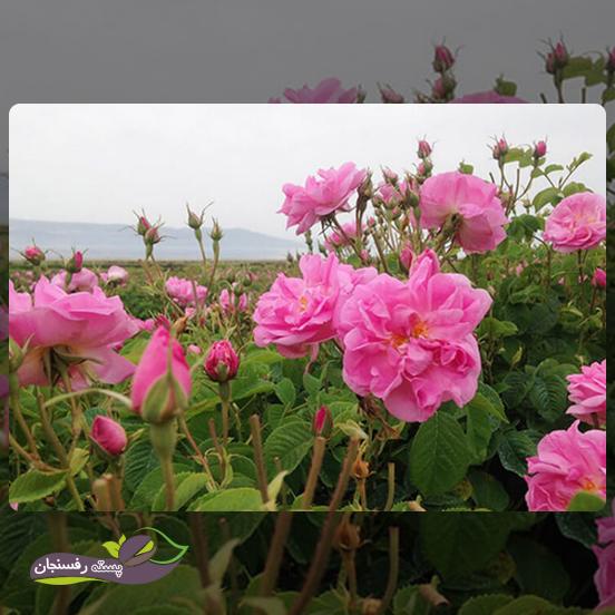 نیازهای بوم شناختی گل محمدی