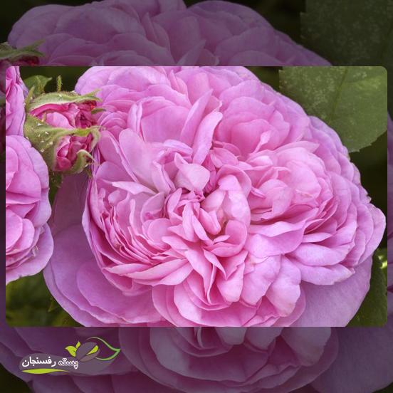 شناخت نیازهای غذایی گل محمدی