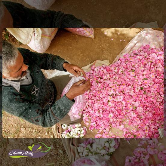 آفت ها و بیماری های گل محمدی