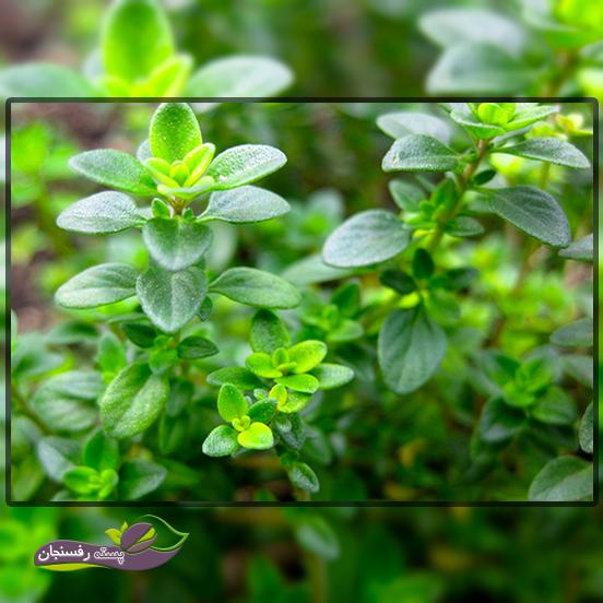 خصوصیات گیاهشناسی مهم آویشن