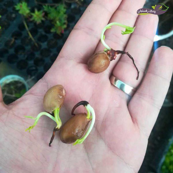 بذر بادامی زرند