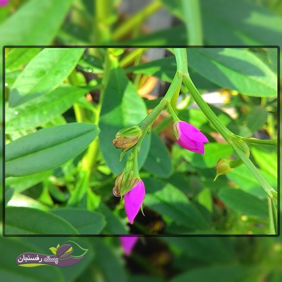 غنچه های گیاه در طول روز