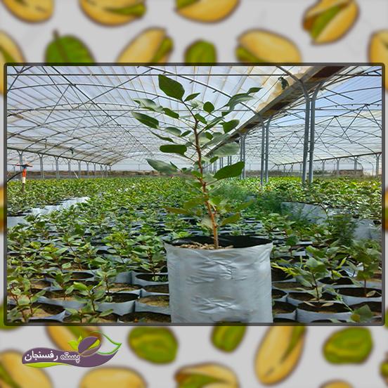 اتخاذ روش کاشت درختان پسته در باغ