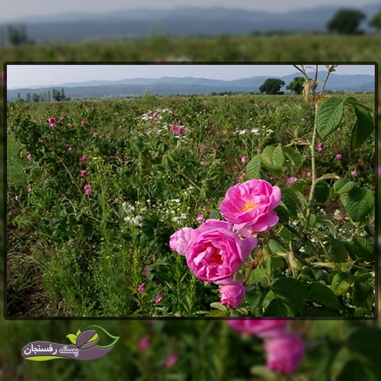 بررسی مطالعات به دست آمده از تولید گل محمدی
