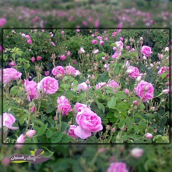 بلغارستان مرکز تولید روغن گل محمدی