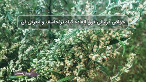 خواص درمانی فوق العاده گیاه برنجاسف و معرفی آن