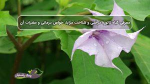 معرفی گیاه تاتورۀ درختی و شناخت مزایا، خواص درمانی و مضرات آن