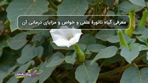 معرفی گیاه تاتورۀ علفی و مزایا و خواص درمانی آن