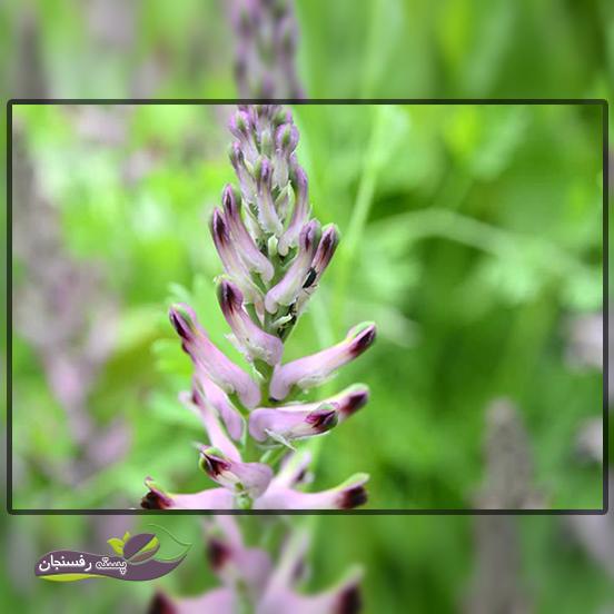 گیاه شاهتره در طب سنتی