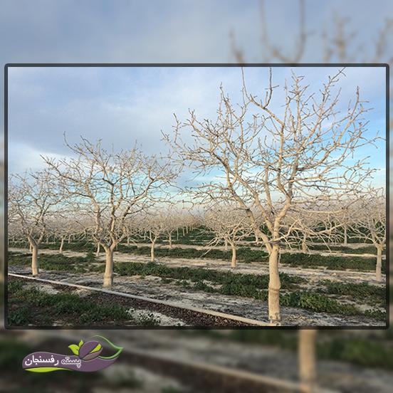 بررسی تنش های درخت پسته و راه کارهای مقابله آن