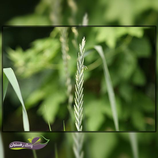 آیا بید گیاه (مَرغ) گیاه دارویی است یا علفی؟