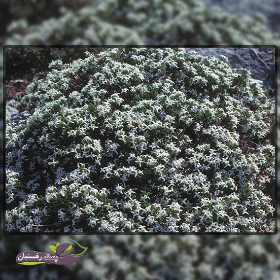 گونه های مختلف و مهم گیاهی مازریون