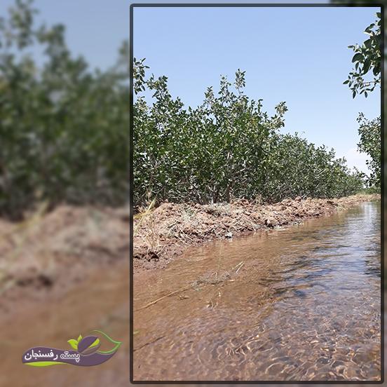 دوره آبیاری منظم باغات پسته چه تاثیری بر درختان و محصول دارد؟