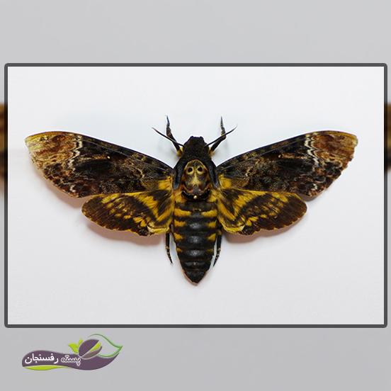 1.ریزش خوشه و جلوگیری از رشد شاخه با حمله آفت پروانه چوب خوار پسته (کارمانیا)