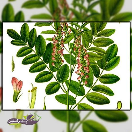 مشخصات گیاه شناسی شیرین بیان