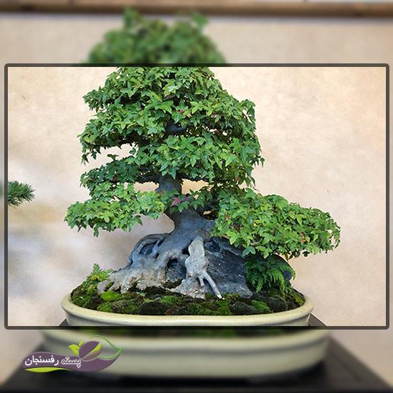 درختچه های بونسای روی صخره (Growing on a rock Bonsai style (Seki-joju