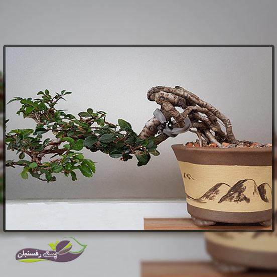 درختچه های بونسای نیمه آبشاری( Semi cascade Bonsai style (Han-kengai
