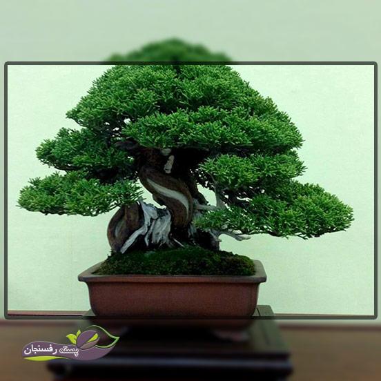 درختچه های بونسای شری (Shari Bonsai style (Sharimiki
