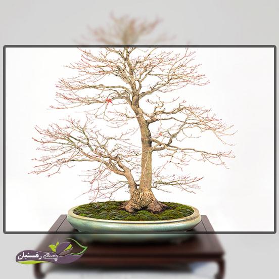 درختچه های بونسای دو تنه (Double trunk style Bonsai (Sokan