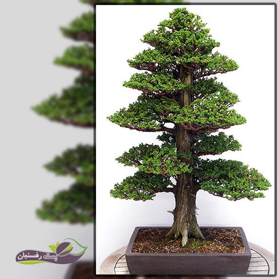 درختچه های بونسای رسمی عمودی (Formal upright Bonsai style (Chokkan