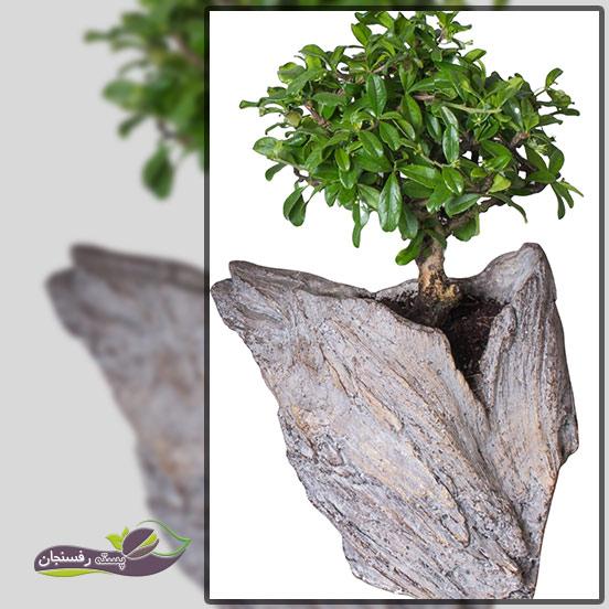 درختچه های بونسای در دل صخره (Growing in a rock Bonsai style (Ishisuki