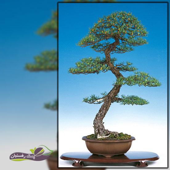درختچه های بونسای غیر رسمی عمودی(Informal upright Bonsai style (Moyogi