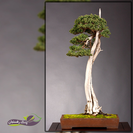 درختچه های بونسای لیتراتی (Literati Bonsai style (Bunjingi