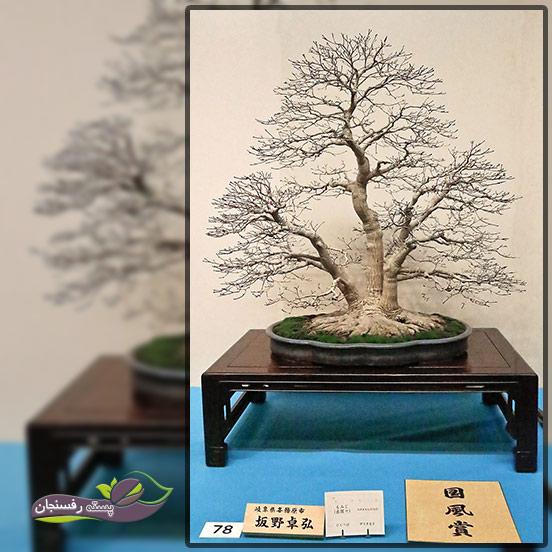 درختچه های بونسای چند تنه (Multitrunk Bonsai style (Kabudachi
