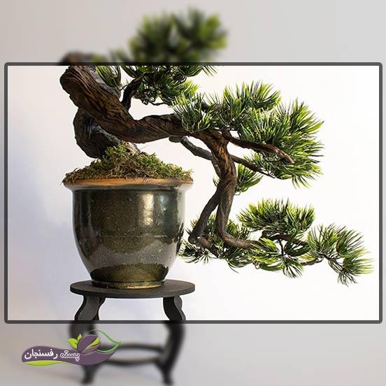 درختچه های بونسای آبشاری (Cascade Bonsai style (Kengai
