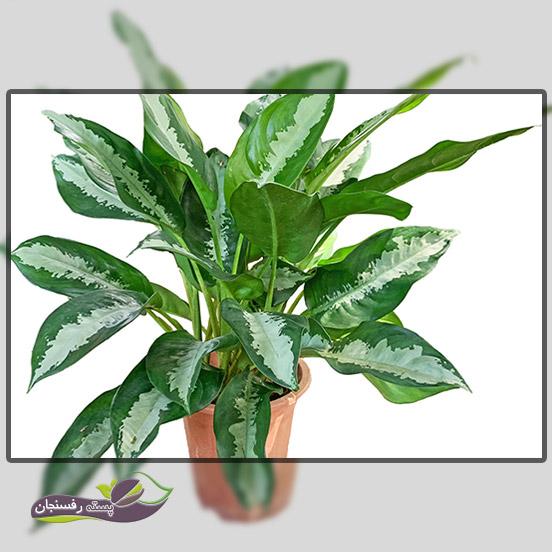 1.آگلونما (Evergreens چینی) Aglaonema