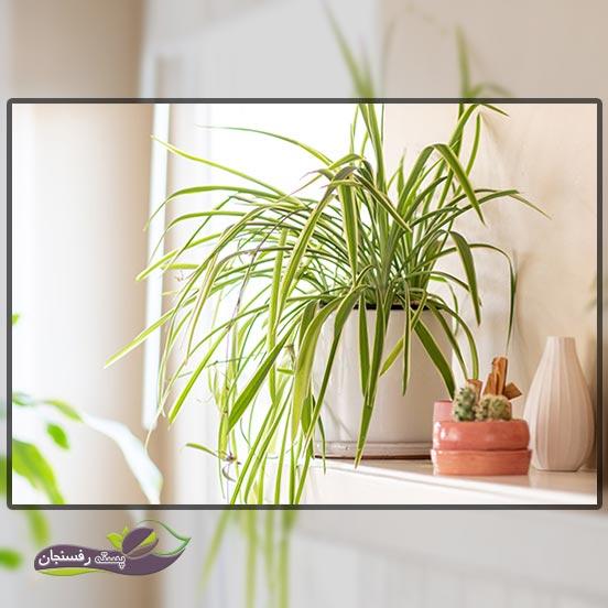 10.برگ گندمی (گیاه عنکبوت Spider Plant)