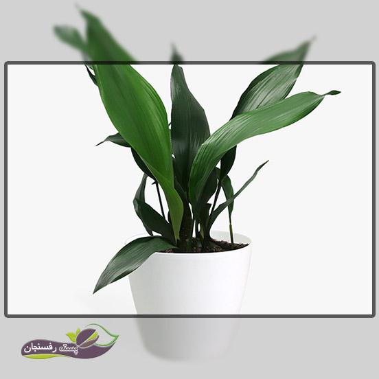 2.گیاه برگ عبایی (سپر گرده Aspidistra)