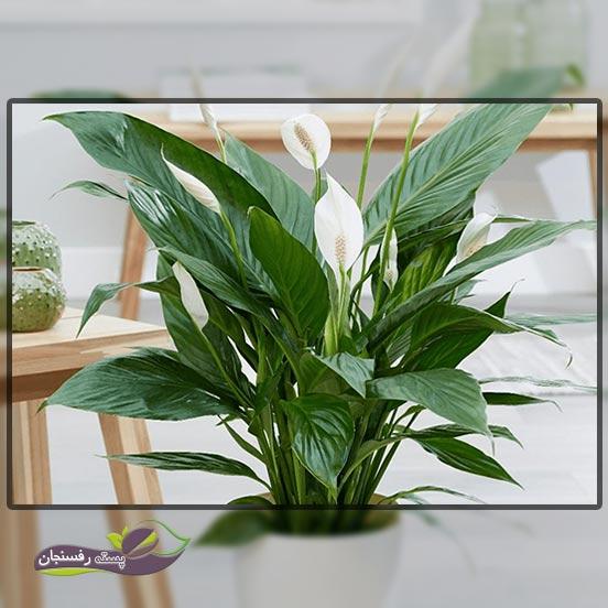 7.اسپاتی فیلوم ( گل چمچه ای Peace Lily)