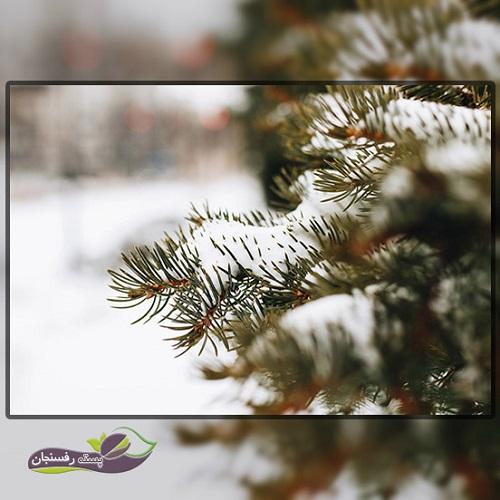 آیا درختان همیشه سبز هم در زمستان به آبیاری نیاز دارند؟