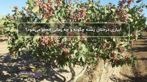 آبیاری درختان پسته چگونه و چه زمانی انجام می شود؟