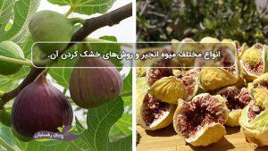 انواع مختلف میوه انجیر و روش های خشک کردن آن.