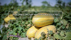 میوه خربزه از مزرعه تا منزل (نحوه کاشت، آفات و خواص خربزه).