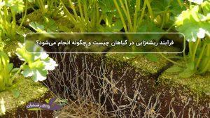 فرآیند ریشه زایی در گیاهان چیست و چگونه انجام می شود؟